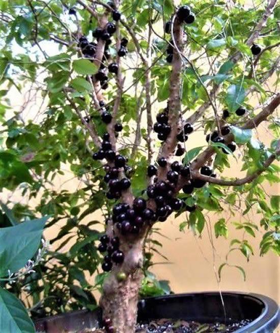 Frutíferas Lindas em Vasos