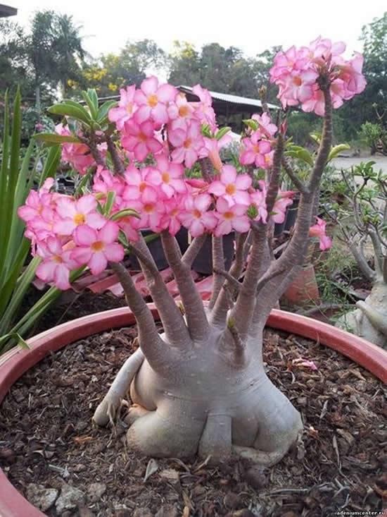 Flores do Deserto em Lindos Jardins