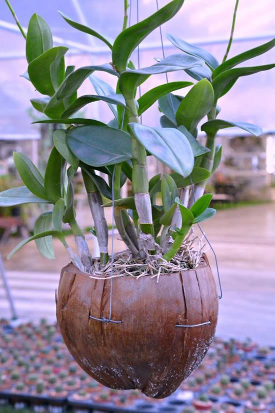 Ideias para Plantar Orquídeas no Coco