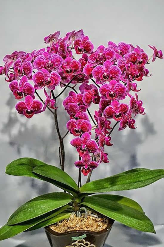 Como cuidar de Orquídea Phalaenopsis