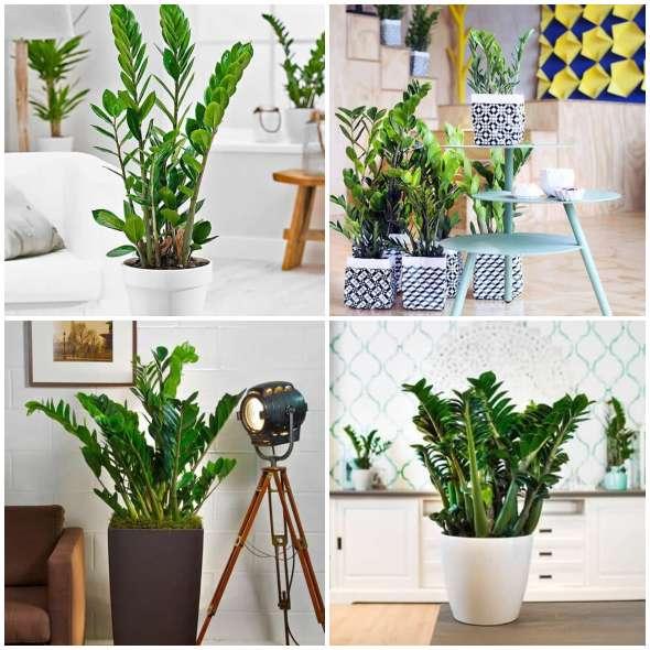 Plantas Zamioculcas Decorando a Casa