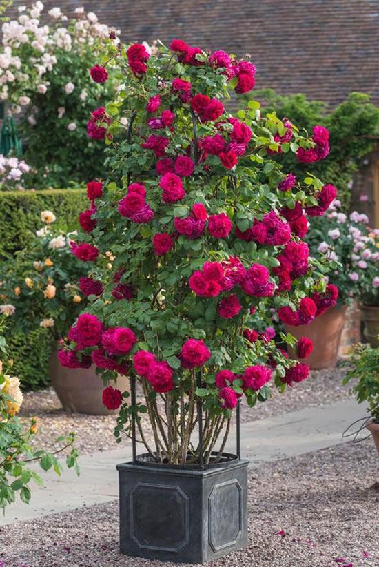 Roseiras Lindas em Vasos