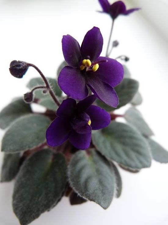 Cuidados com Violetas em Vasos