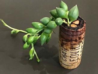 Como plantar suculentas em rolhas