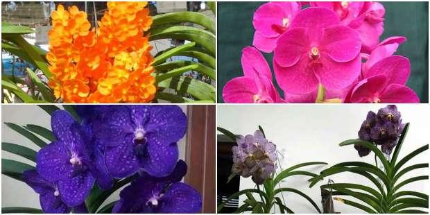 Lindas Orquídeas Vanda