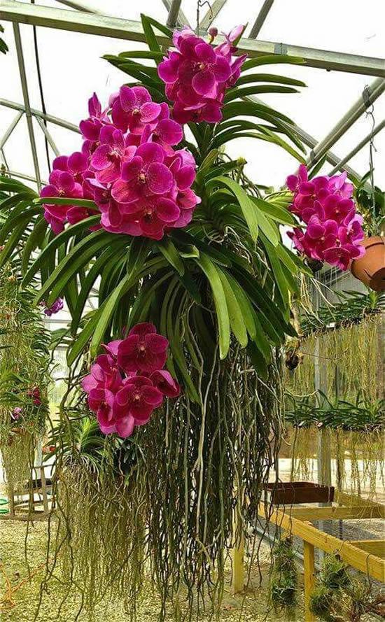 5 Orquídeas Lindas e Maravilhosas: Vanda