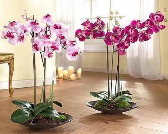 5 Orquídeas Lindas e Maravilhosas: Phalaenopsis