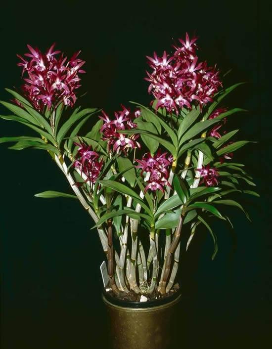 5 Orquídeas Lindas e Maravilhosas: Dendobrium