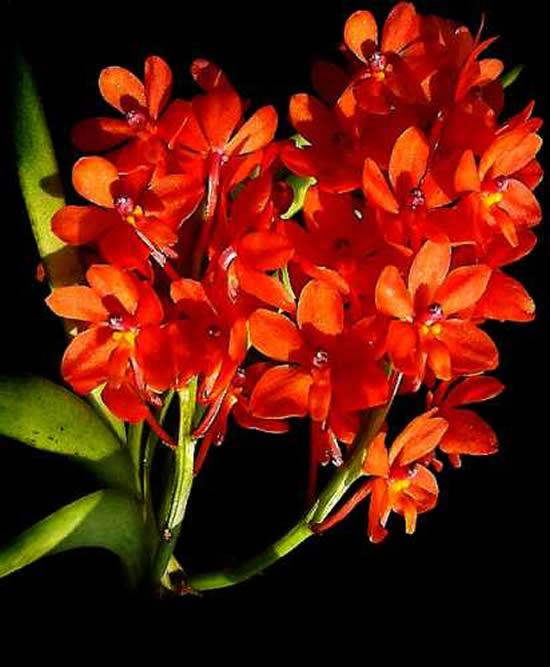 5 Orquídeas Lindas e Maravilhosas: Ascocentrum