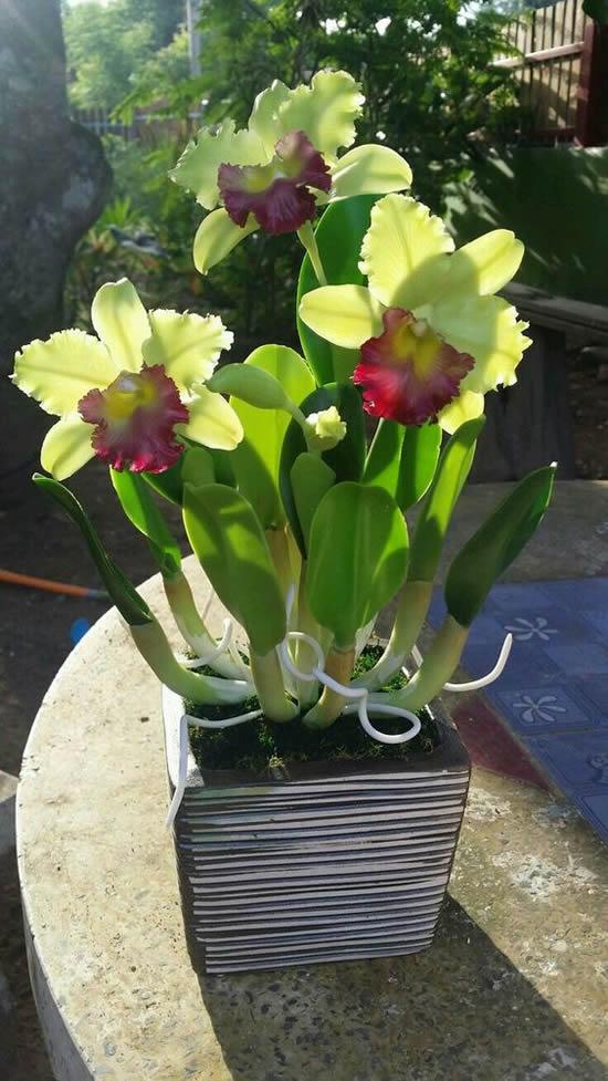5 Orquídeas Lindas e Maravilhosas: Cattleya