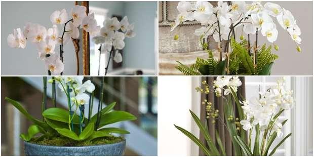 Orquídeas para Decoração da Casa