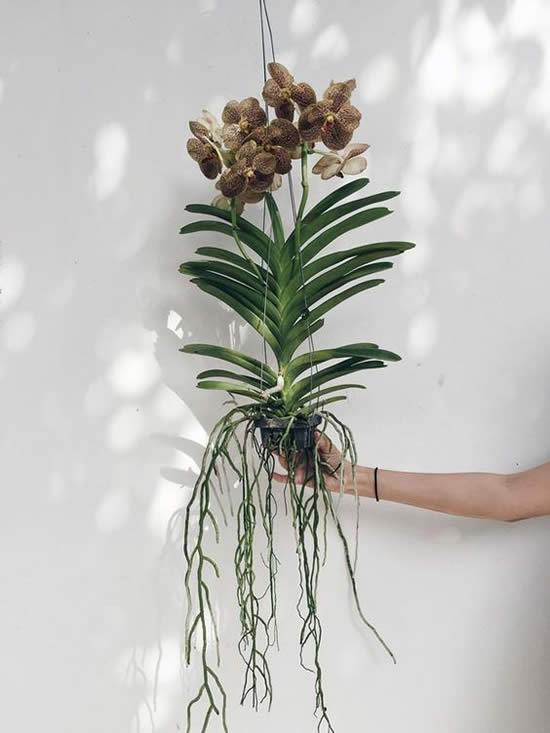 Como cuidar de Orquídea Vanda