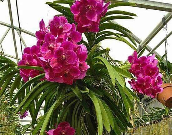 Como cuidar de Orquídeas Vandas