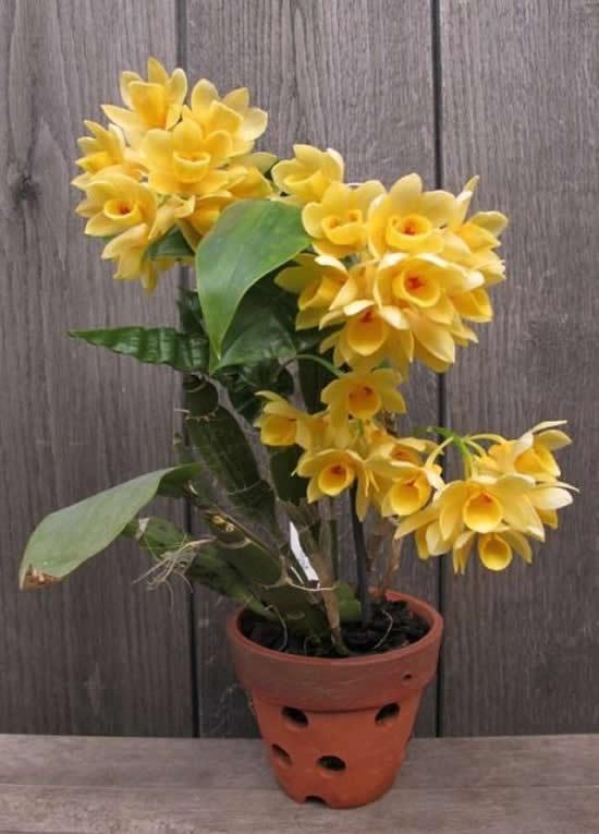 Como cuidar de Orquídea Dendrobium