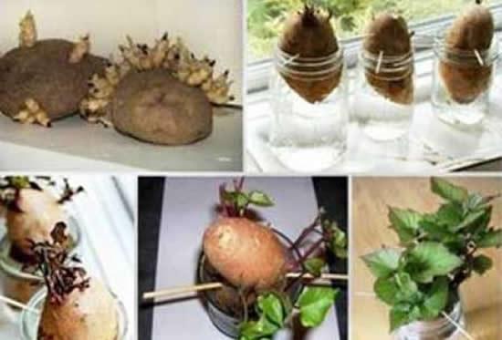 Aprenda a plantar batata