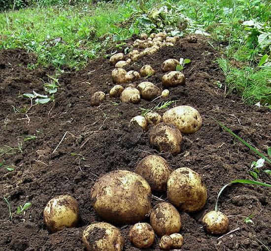Colhendo batatas