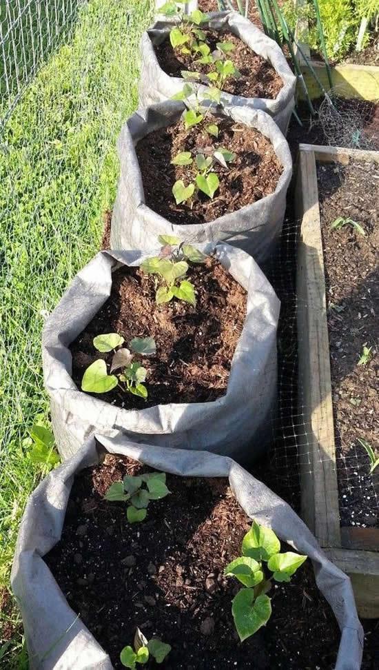 Linda dica para plantar batata