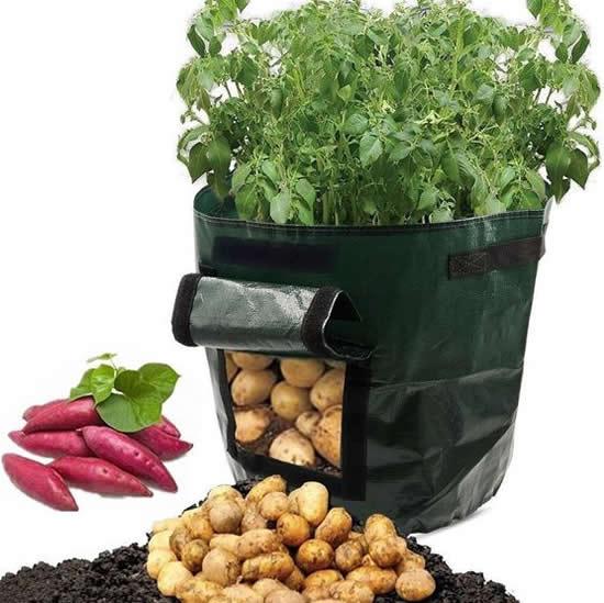 Maneira prática de plantar batata