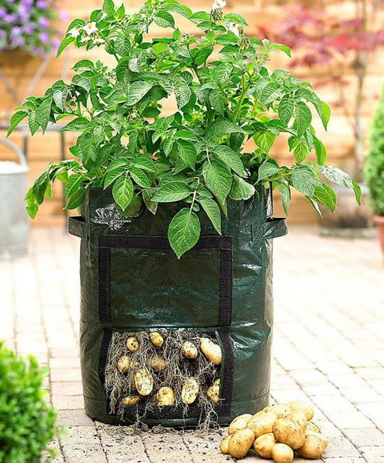 Linda maneira para plantar batata