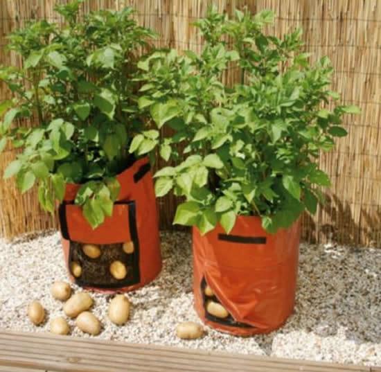 Aprenda como plantar batata
