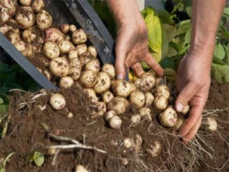 Hora de colher batatas