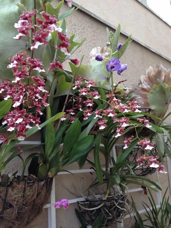 Como cuidar de Orquídea Chocolate - Sharry Baby