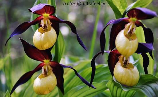 Linda Orquídea Sapatinho