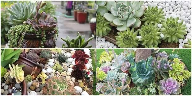 Suculentas decorando o jardim