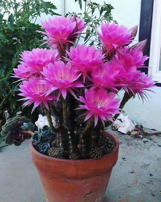 Cactos com flores lindos