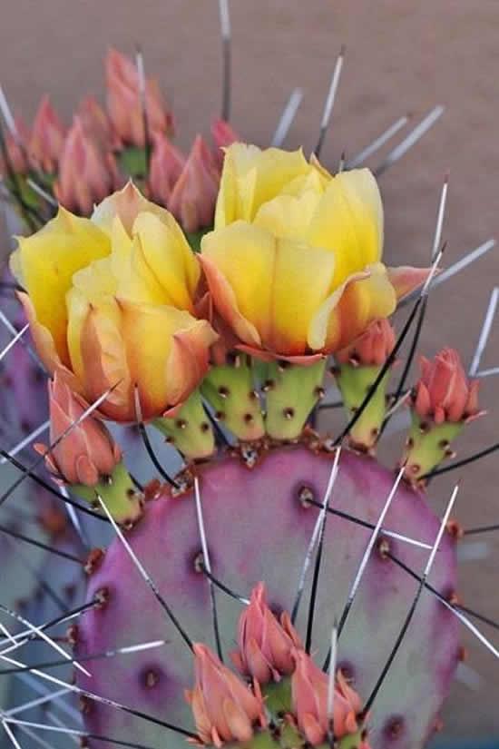 Cacto com flor