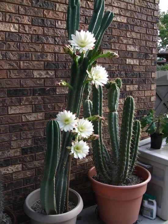 Cacto florido lindo e inspirador
