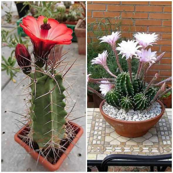 Lindos cactos com flores para inspiração