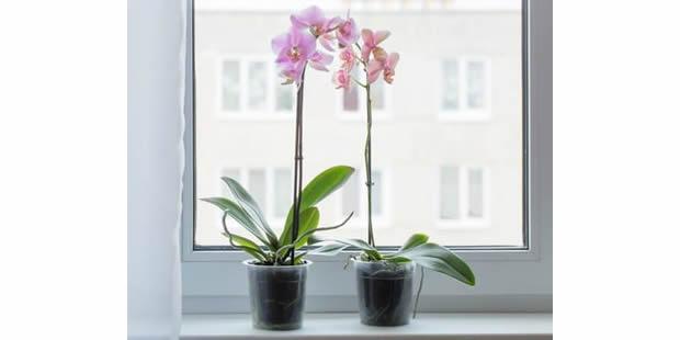 Dicas e segredos de como regar orquídeas