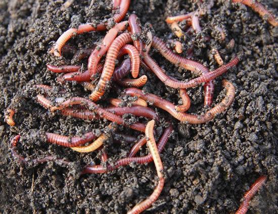 Veja como as minhocas ajudam a melhorar o solo do seu jardim