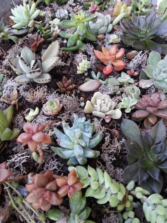 Suculentas para decorar o jardim