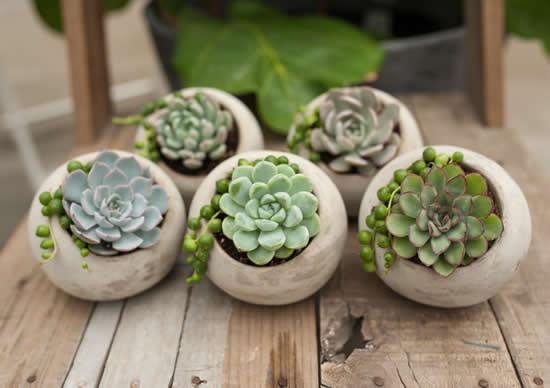 Como plantar e cuidar de lindas suculentas
