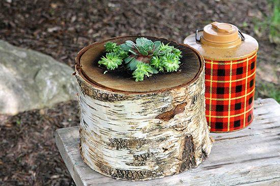 Suculentas lindas em tronco