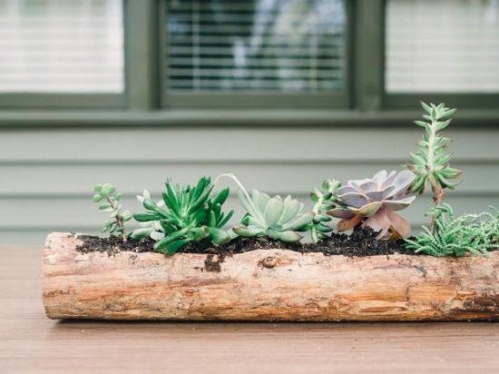 Lindas suculentas em tronco de madeira