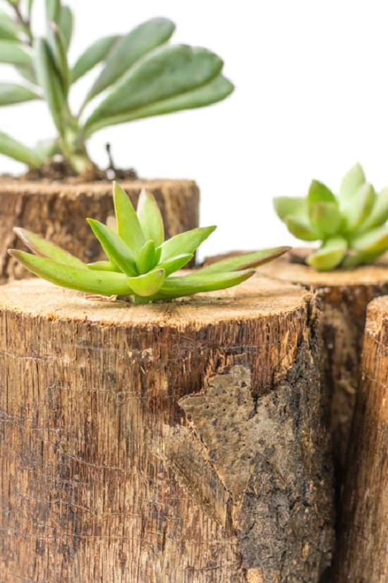 Suculenta em tronco de madeira