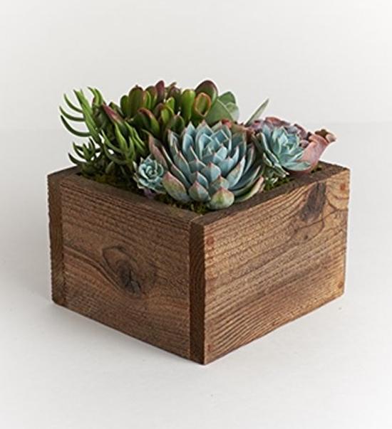 Lindas suculentas em vaso de madeira