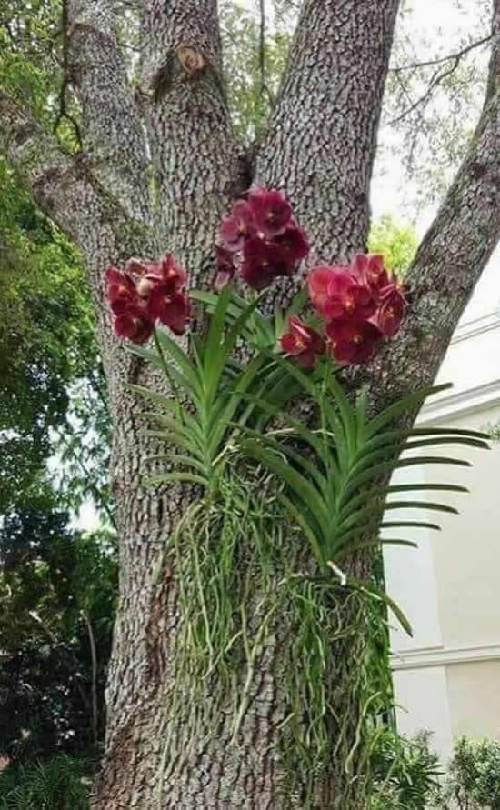 Orquídeas Vanda na árvore