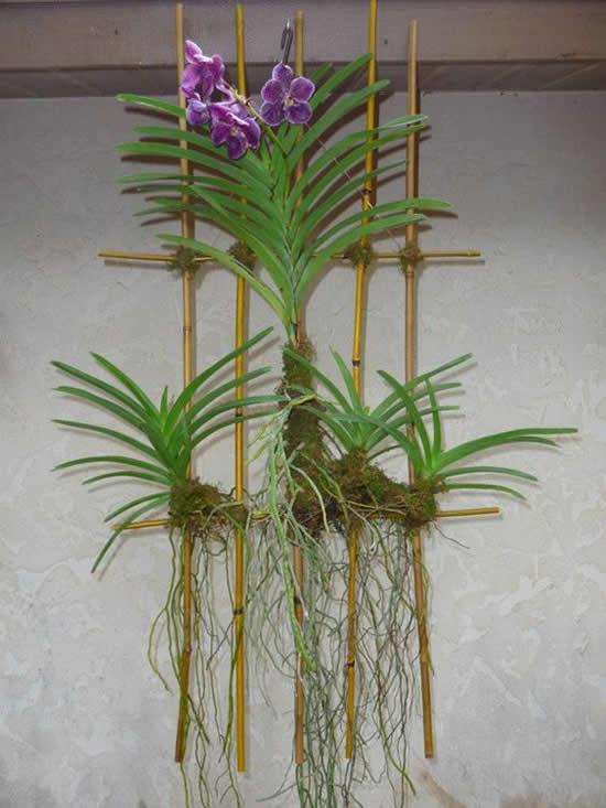 Ideias lindas para cultivar orquídea vanda