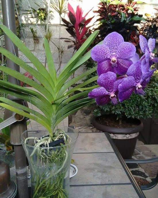 A linda orquídea vanda