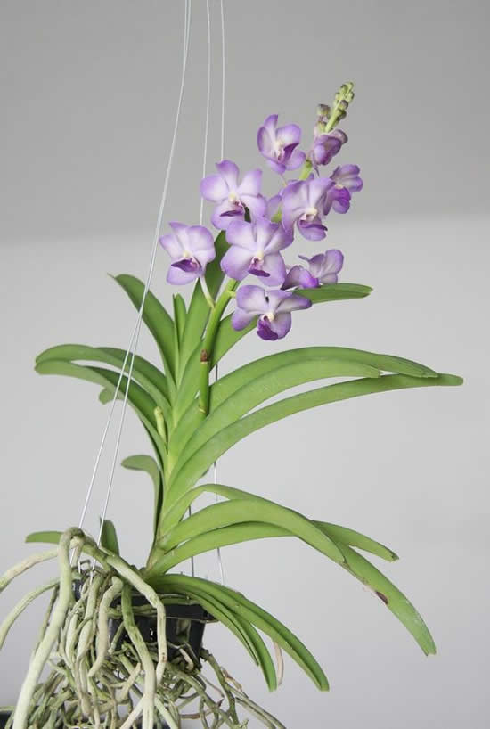 Como cultivar orquídea vanda