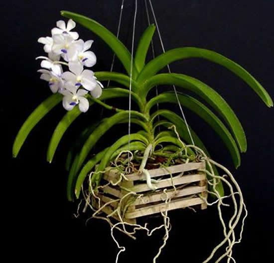 Uma orquídea vanda lindíssima