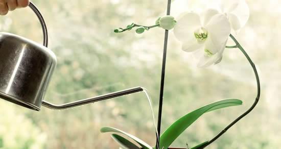 Qual a hora de regar orquídeas