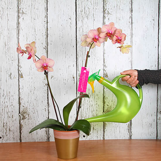 Aprenda a hora de regar orquídeas