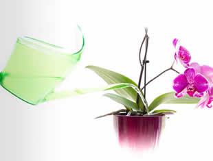 Truques e segredos de como molhar orquídeas