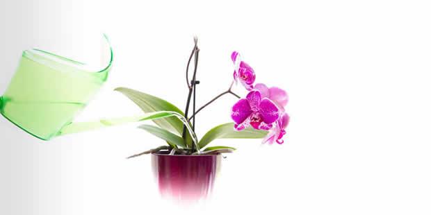 Aprenda como molhar orquídeas