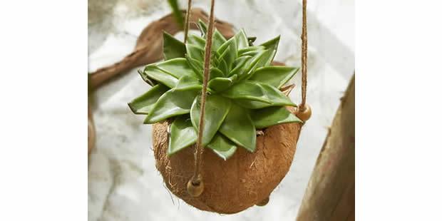Ideias para plantar suculentas no coco